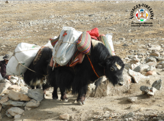 Les yaks avancent d'un pied sûr sur la Kora du mont Kailash